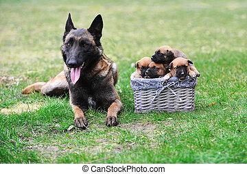 dog with puppies - female dog of belgian shepherds malinois...