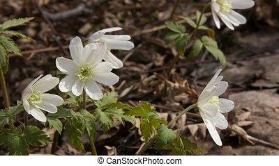 Anemone - Siberian primroses - anemone (Anemone nemorosa)