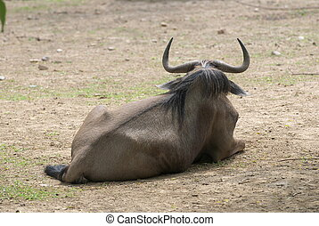 gnu - close up of an gnu