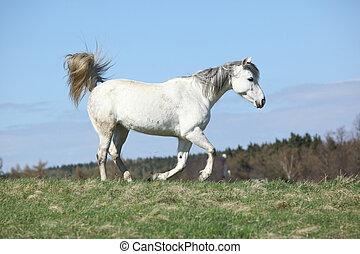 White warmblood running on pasturage - Nice white warmblood...