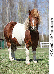 Beautiful skewbald Shetland pony standing in outdoor -...
