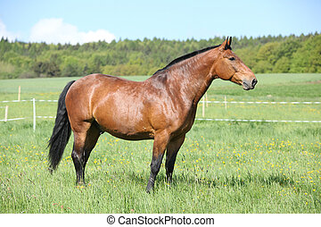 Beautiful horse standing on pasturage - Beautiful brown...