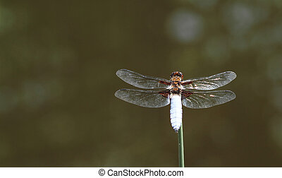 Dragonfly - Close up photo of an adult dragonfly