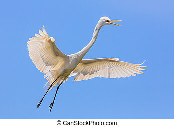 Flying Great Egret - A great egret flies with wings open as...
