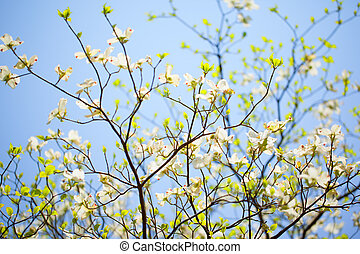 White flowering dogwood tree Cornus florida in bloom in blue...