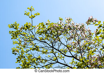 White flowering dogwood tree Cornus florida in bloom in blue...