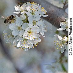 flower in fruit garden honey bee - honey bee on flower in...