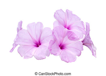 Pink morning glory flowers on white background