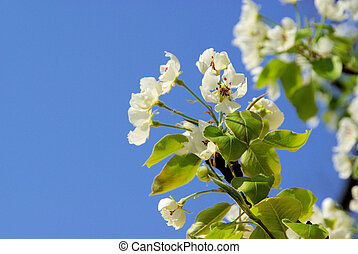 flowering of pear tree 58