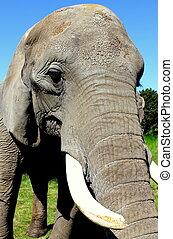Elephant ,close up image