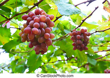 growing grape clusters on the branches