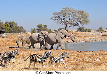 Elephant squabble, Etosha National park, Namibia - Elephant...