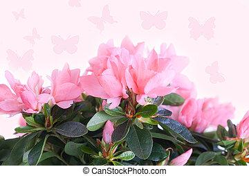 Cor-de-rosa, azaléia, contra, borboletas