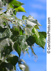 Poplar tree covered by white fluff