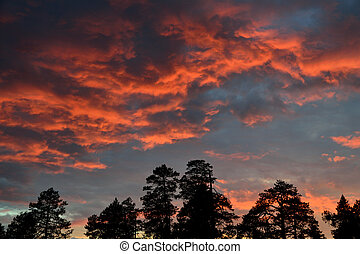 Crimson sunset - Silhouettes of pine trees on the background...