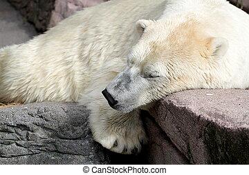 spanie, polarny, Niedźwiedź