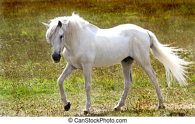 Beautiful White horse, close up image