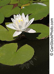 Lotus flower close up image