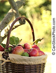 Red organic apples on branches,close up
