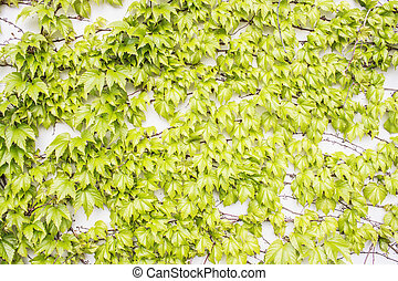 Green Plant on Wall - Parthenocissus tricuspidata