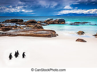 Wild South African penguins, little group of Jackass...