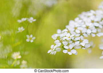 White blooming blossoms in spring with beautiful bokeh