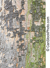 Plane tree colorful bark texture