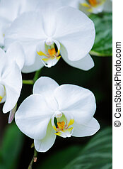 Whte orchid flower