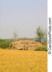 rice grain - harvest of rice grain in rural in autumn north...