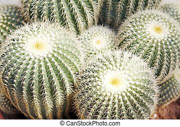 cactus kind succulent plant