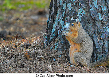 Fox Squirrel by Tree - Female fox squirrel resting near base...