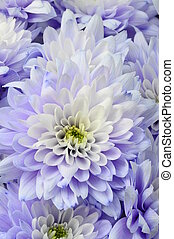 Macro of white and blue flower aster - Close up of white and...