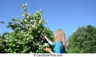 woman pick jasmin blooms - girl woman in blue pick jasmin...