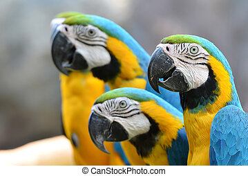 blue and yellow macaw, Blue-and-Gold Macaw