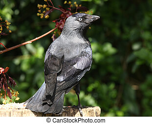 Jackdaw - Portrait of a Jackdaw