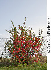 Flowering bush with red flowers and fence