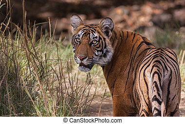 Sultan the tiger cub - Sultan a one year old tiger cub in...