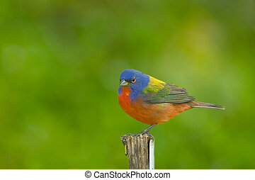 Painted Bunting perched - A Painted Bunting perched on a...