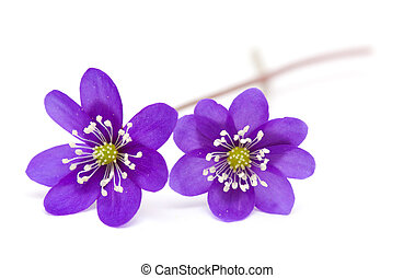 Anemone hepatica isolated on white