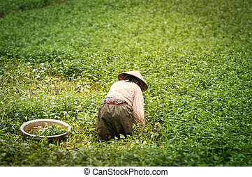 Person working on rice plantation in Vietnam - Person...