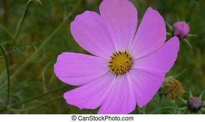 Cosmos flower close-up