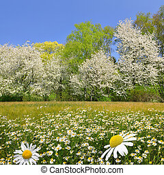 Field of marguerites with trees