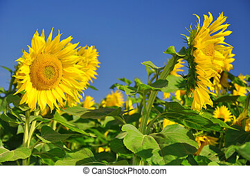 sunflower field with blue sky