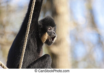 Yellow-cheeked gibbon (Nomascus gabriellae) male
