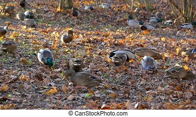 Flock of ducks is looking for food under leaves