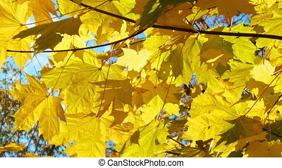 Branch autumn maple leaves swaying in wind