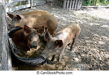 pigs playing in water in pig pen - pigs bathing in water in...