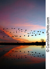 Flying Wild Geese and a Red Sunset - Reflection of Canadian...