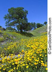 California Poppies and Oak Trees - California Poppy...