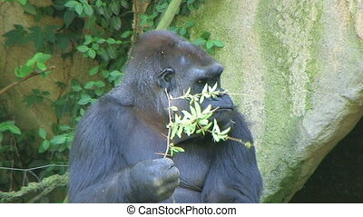 Gorilla Protects Food - Western Lowland Gorilla eating leafy...